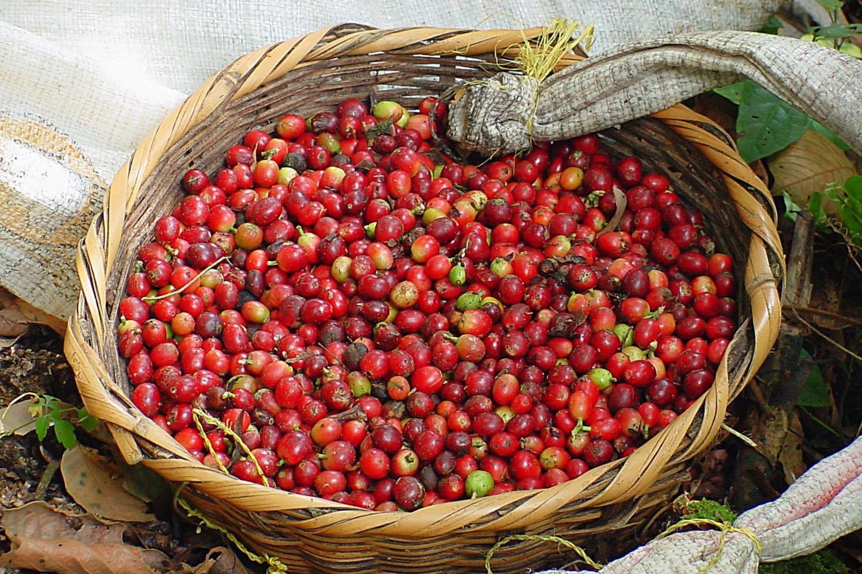 Coffee beans ready for roasting in Matagalpa, Nicaragua