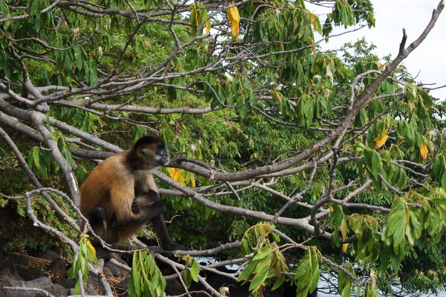 Howler monkey sitting in a tree above the Las Isletas islands in Lake Nicaragua