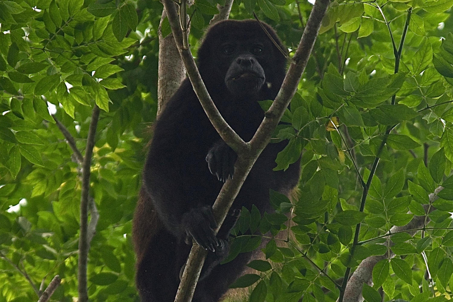 Howler monkey enjoying a leafy snack at Sabalos Lodge, Rio San Juan