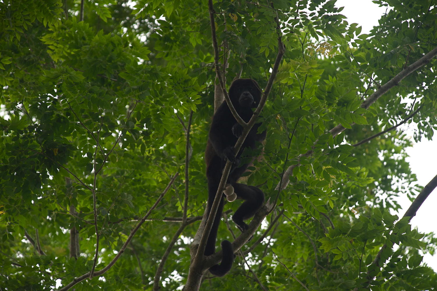 Howler monkey above the Rio San Juan in Nicaragua
