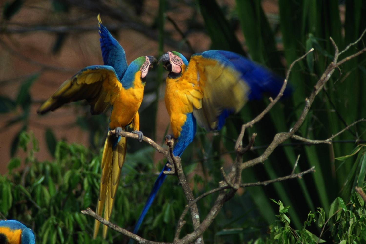 Blue and yellow macaw squabbling
