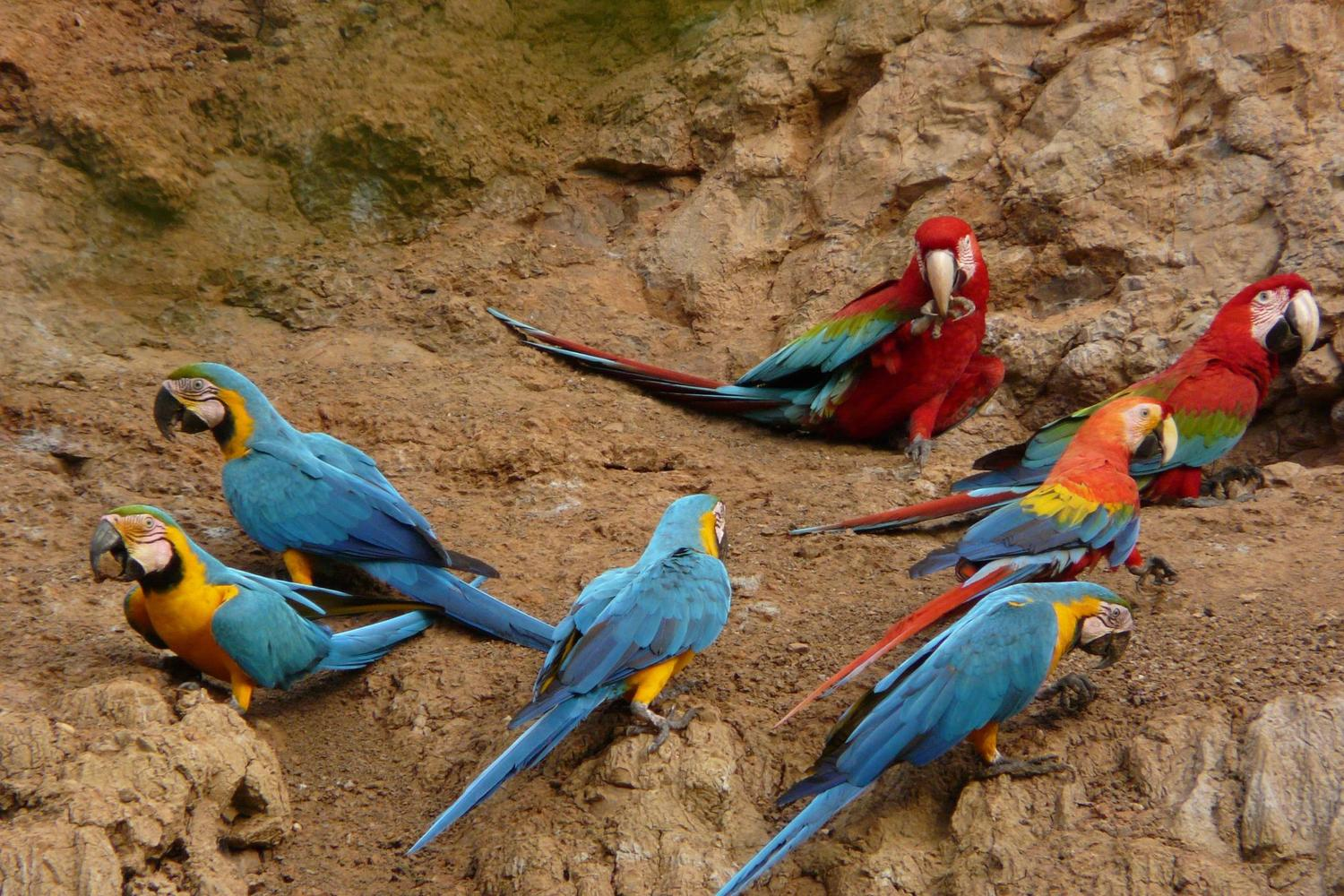 Macaw at the clay lick in the Peruvian Amazon