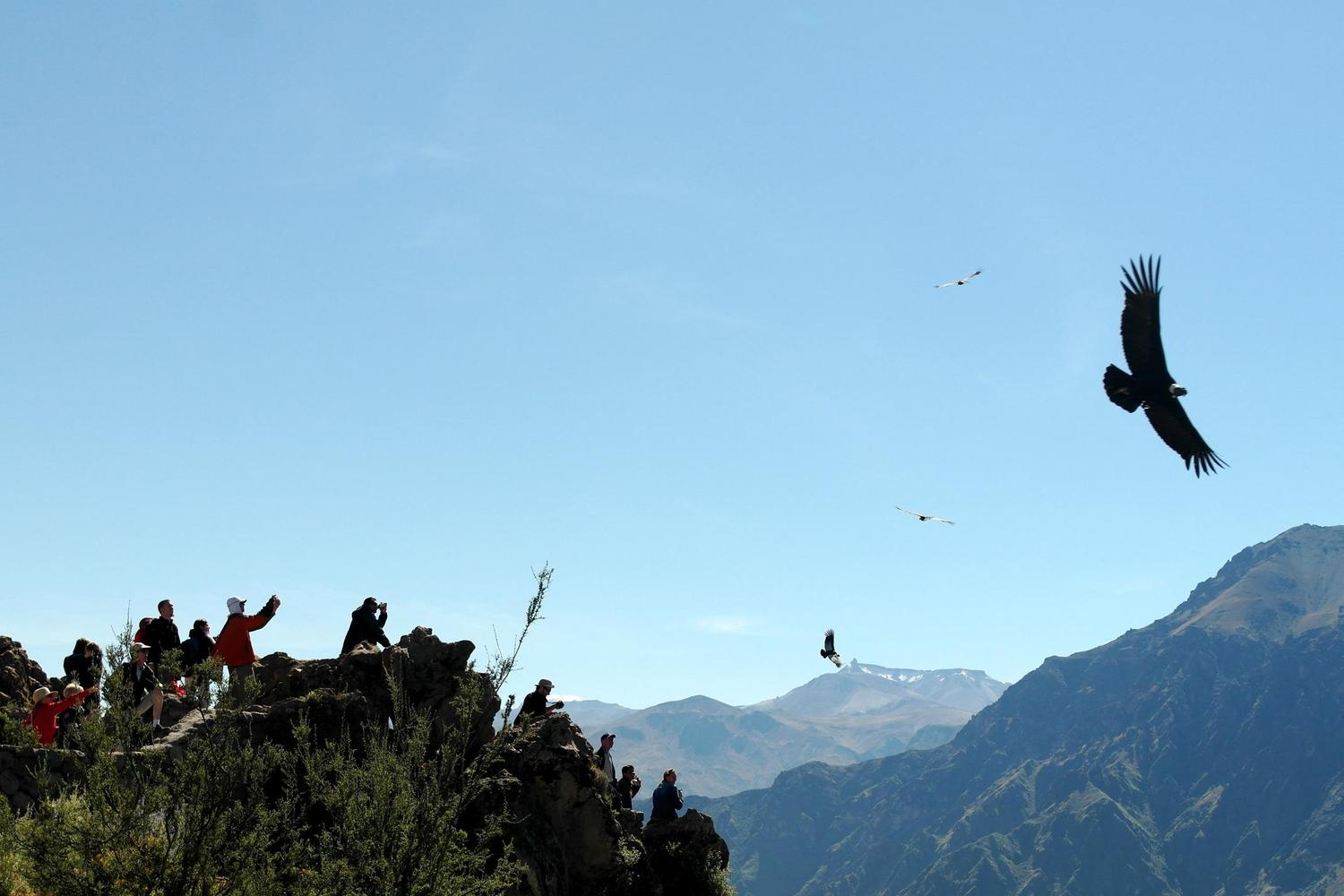 Condors rising up from the Colca Canyon on the morning thermals