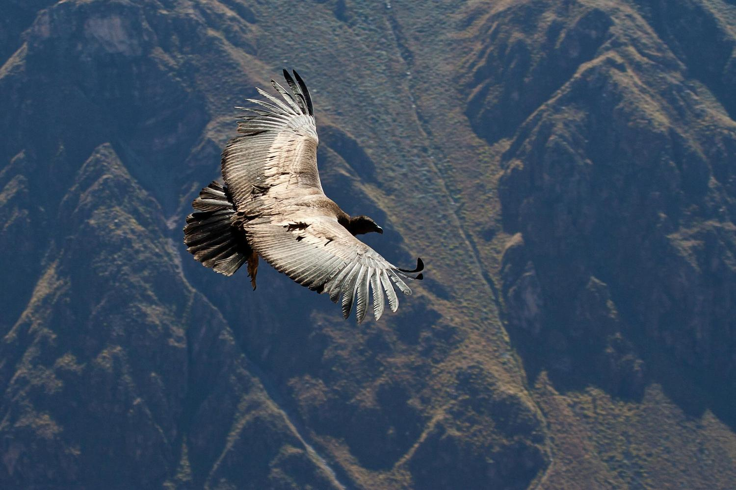 Condor floating on the thermals of the Colca Canyon