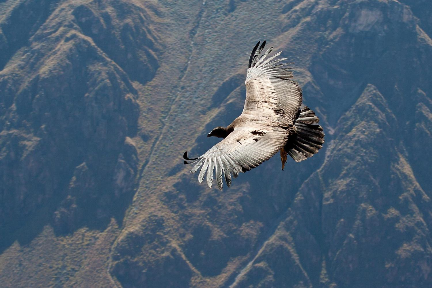 A condor swooping over the Colca Canyon, Peru