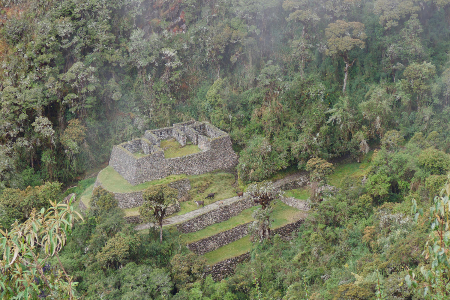 Ruins and llamas in the cloud forest near to Chaquicocha, on the third day of the Inca Trail