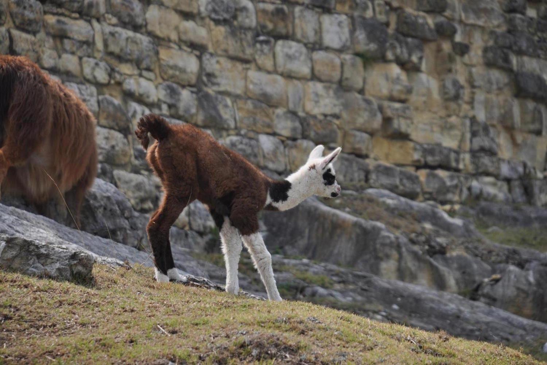 Llama at Kuelap ruins