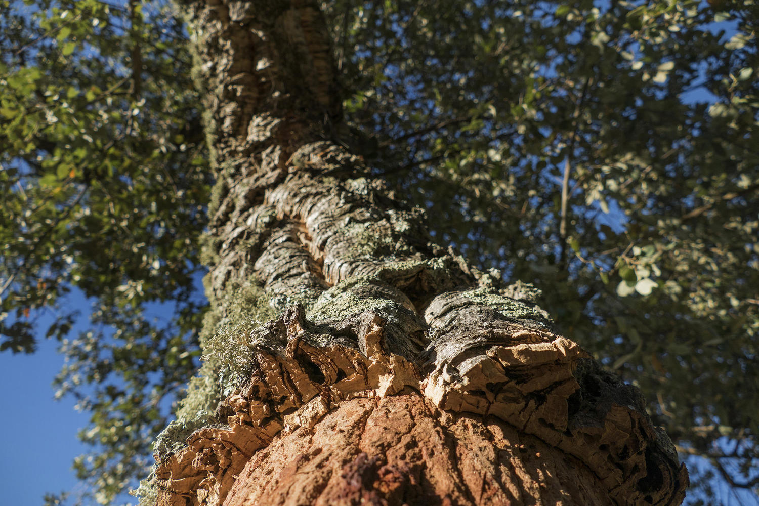 The emblematic cork oak of Alentejo