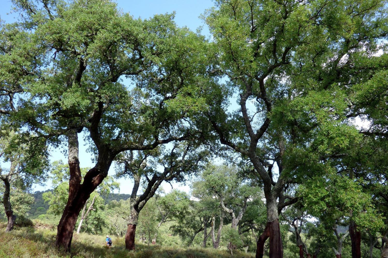 Walking amongst the cork oak trees