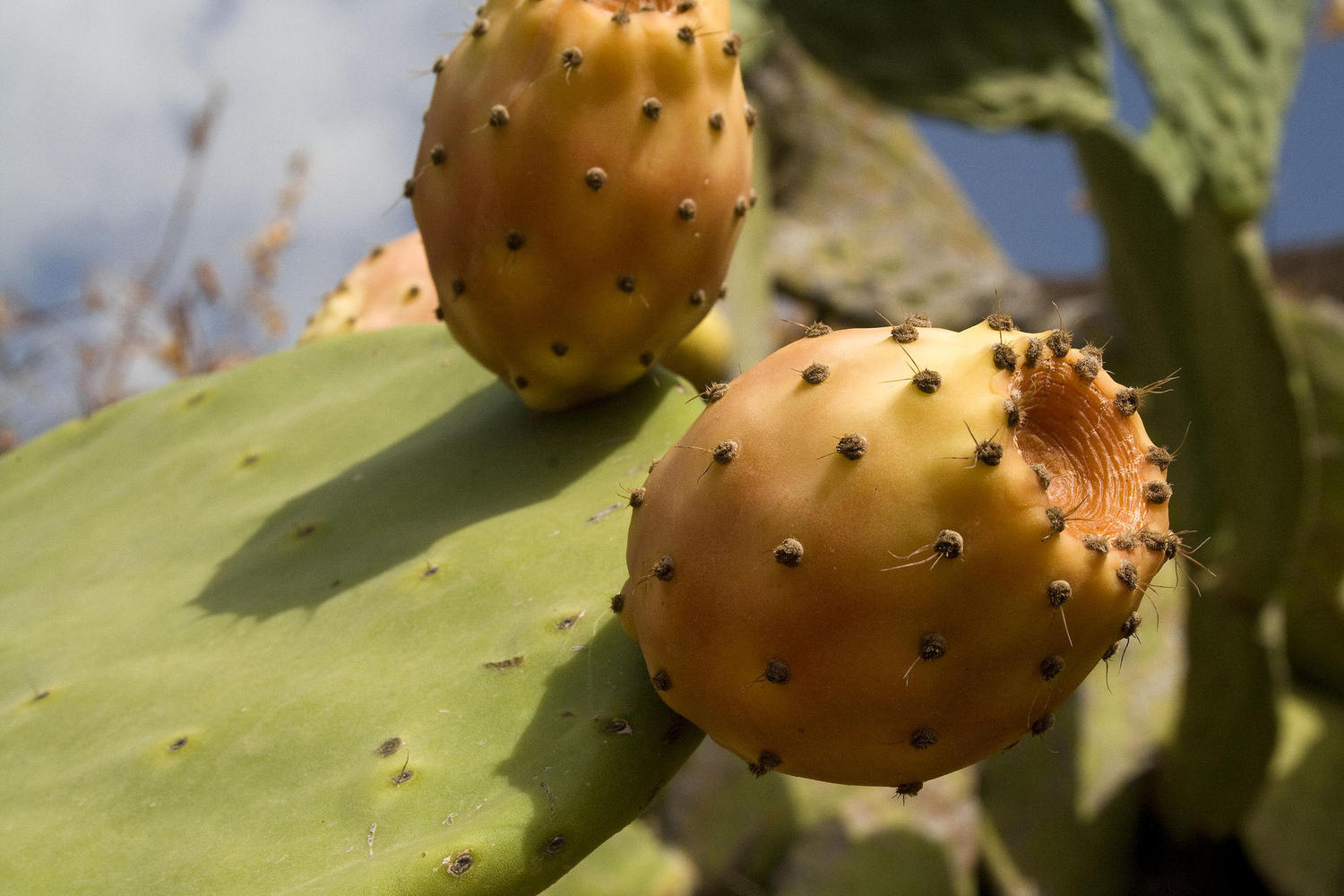 Prickly figs give a Mexican feeling to the Cabo de Gata area.