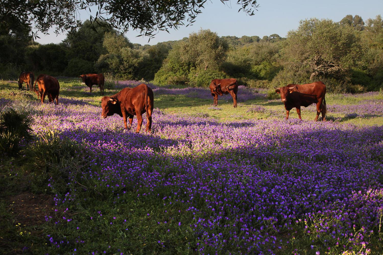 Retinta cows roaming in the Cadiz pastures