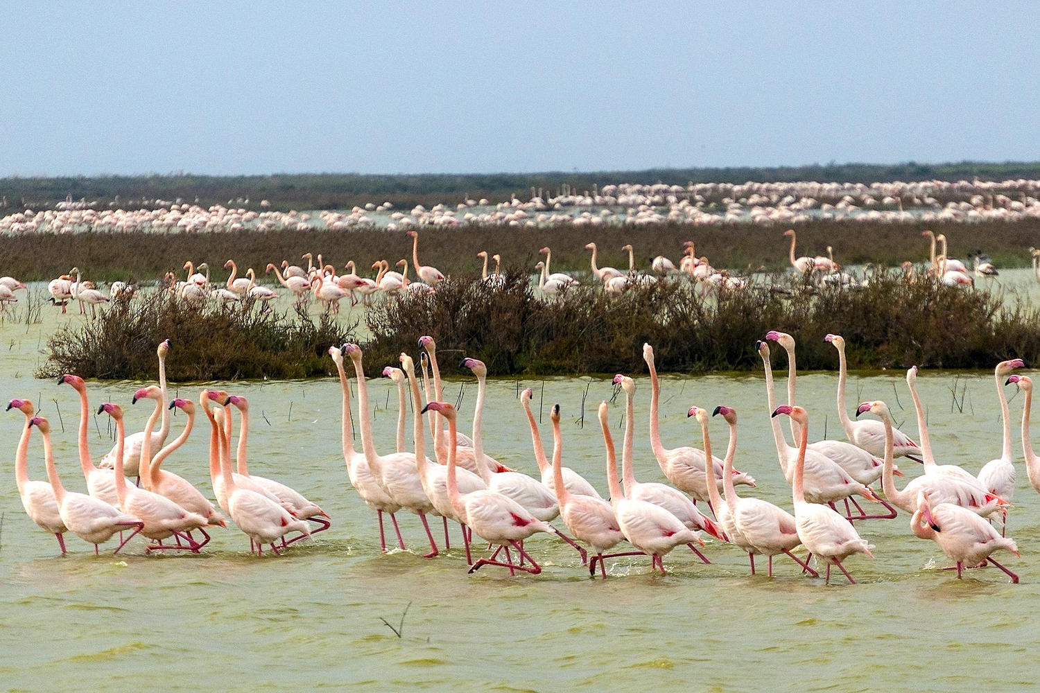 Thousands of flamingos gather in the marshlands of Doñana National Park