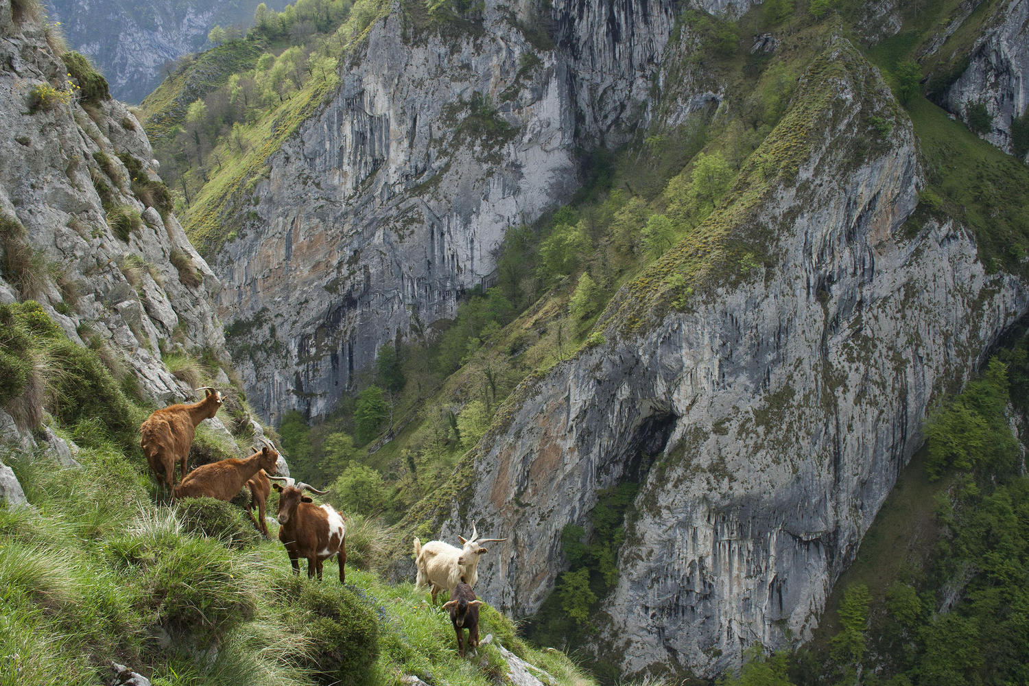 Domestic goats at the steep hills of the Beyos gorge
