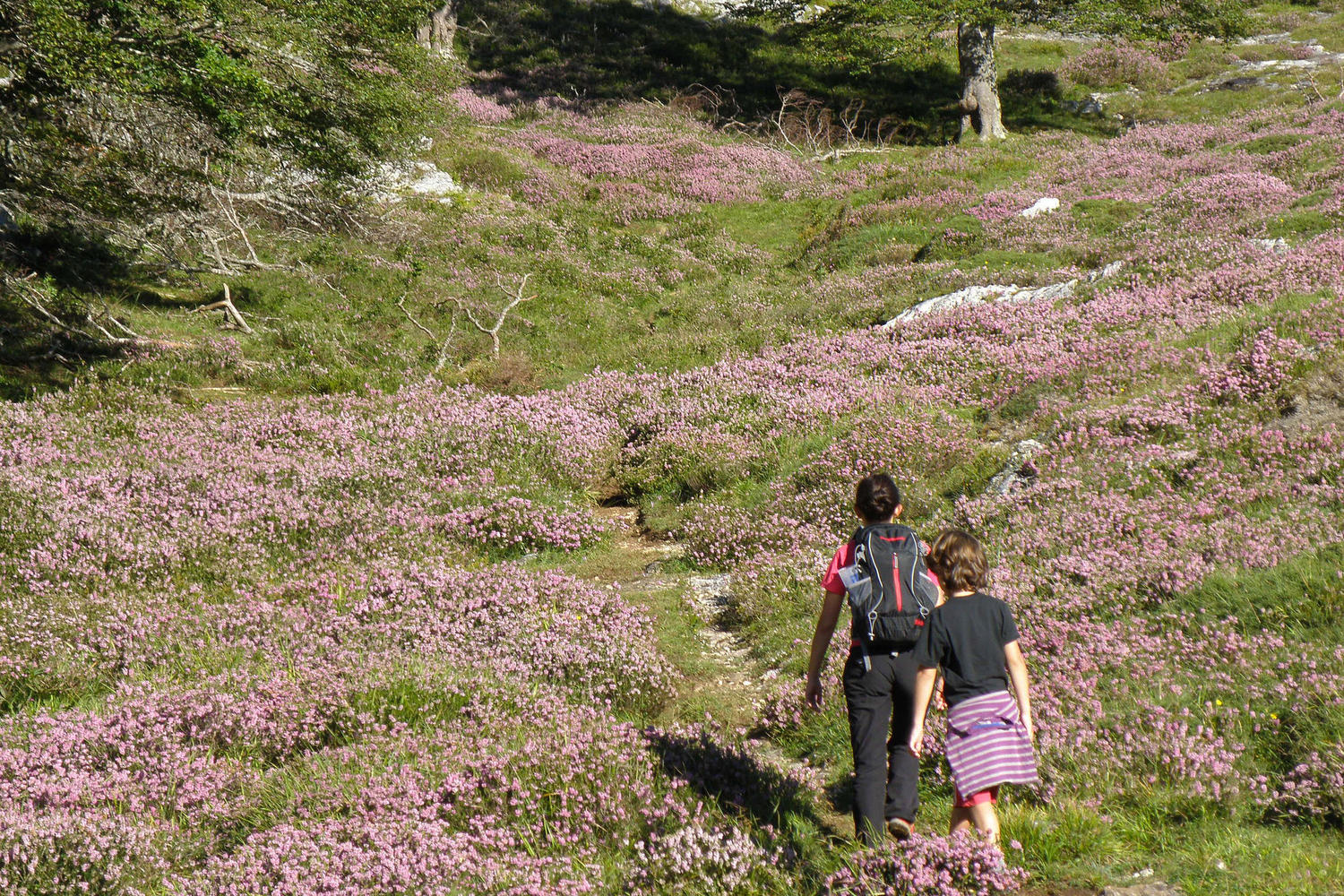 Walking with kids through blossomed heather