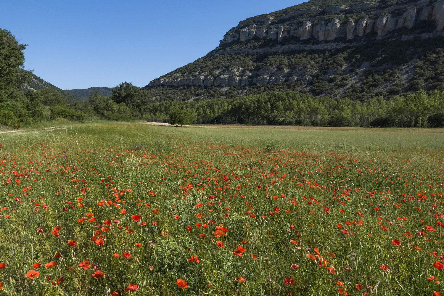 Poppies in the fields of Pesquera del Ebro