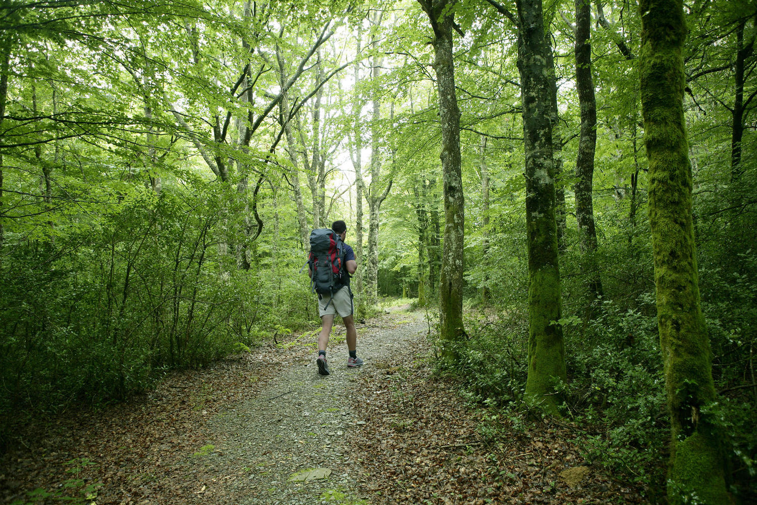 Hiking across the Jordá beech forest in Garrotxa natural park