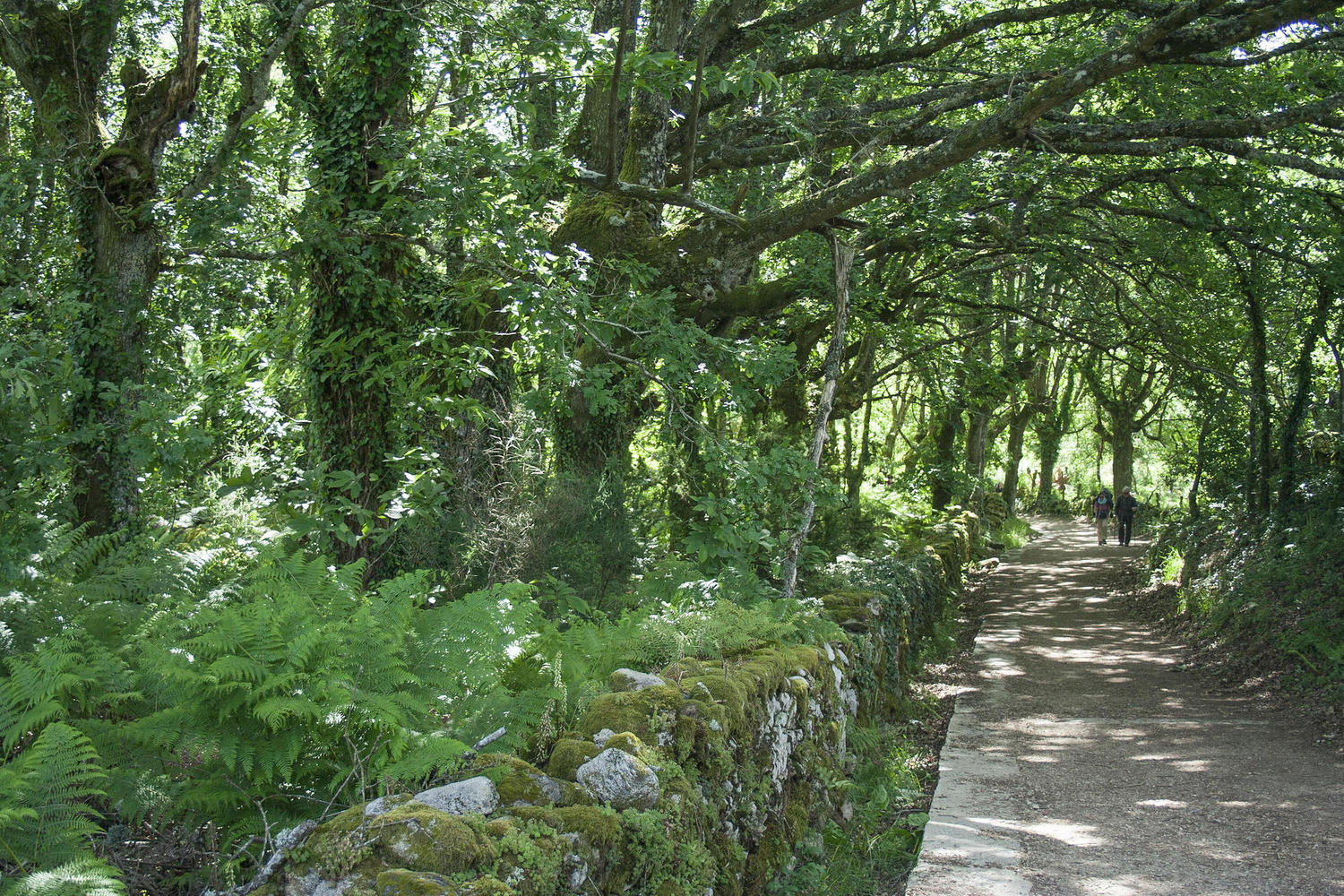 The lush vegetation of Galicia gives shade to pilgrims.