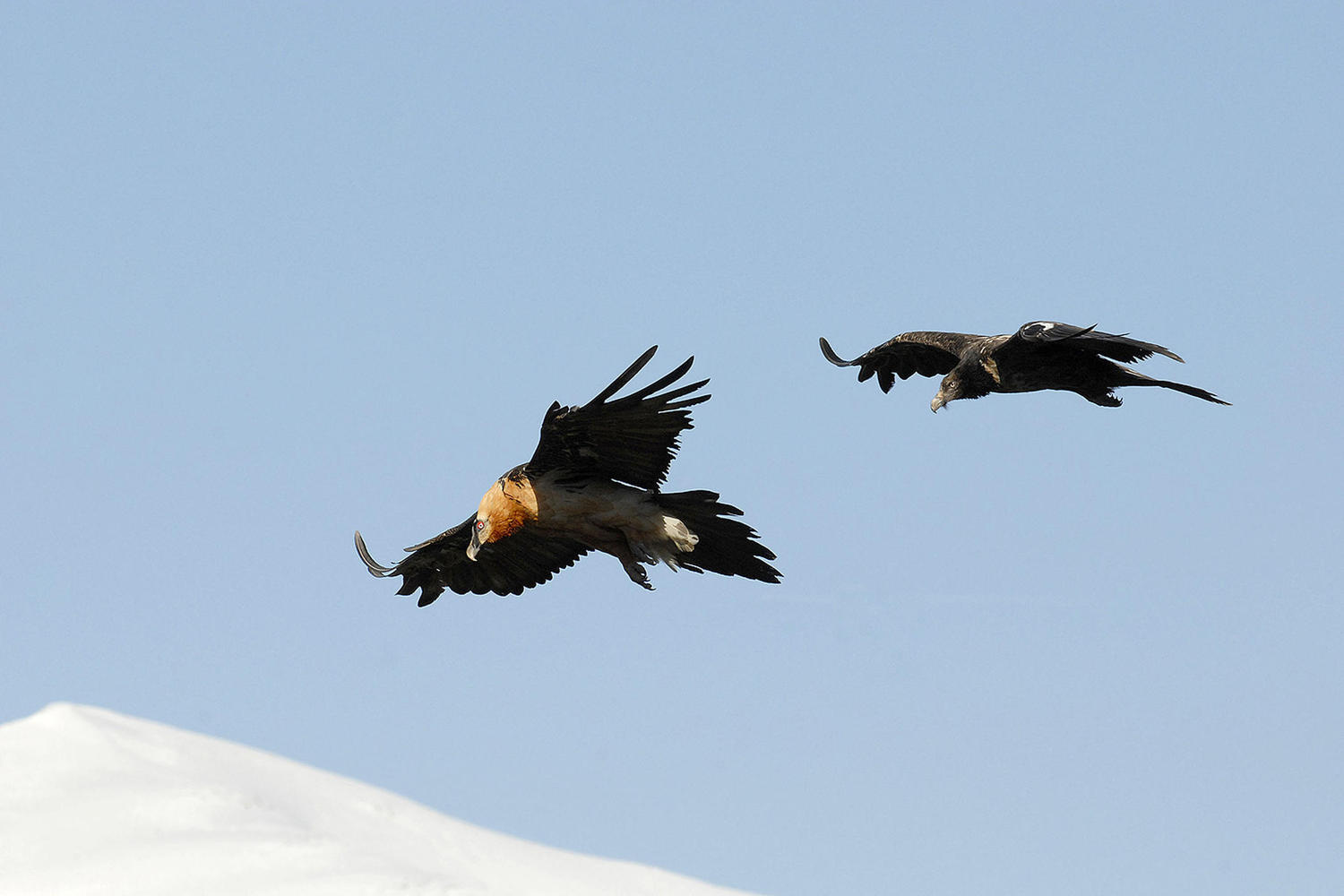 Bearded vultures flying above the snowy peaks.