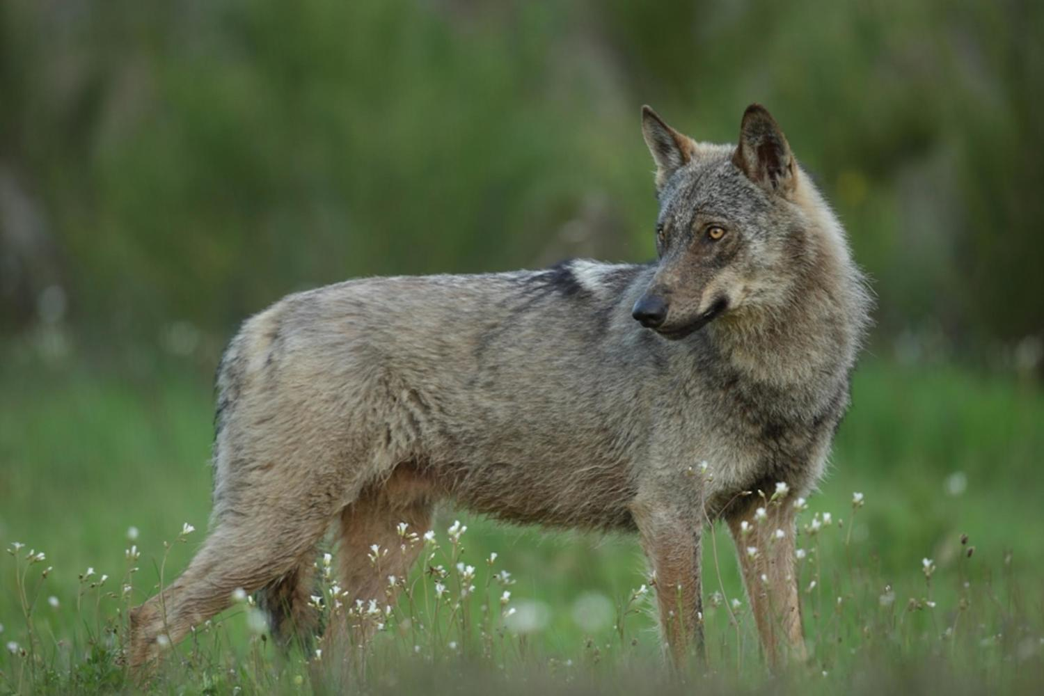 A small population of Iberian wolves still roam the remotest reaches