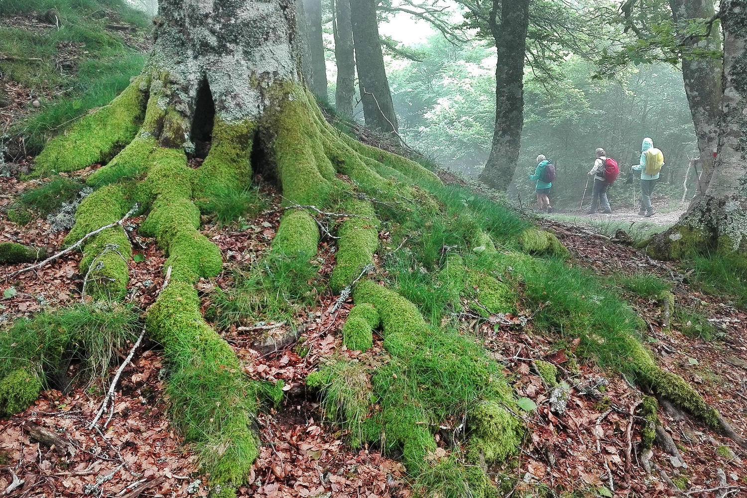 Hiking along the Camino through the green misty forests near Roncesvalles