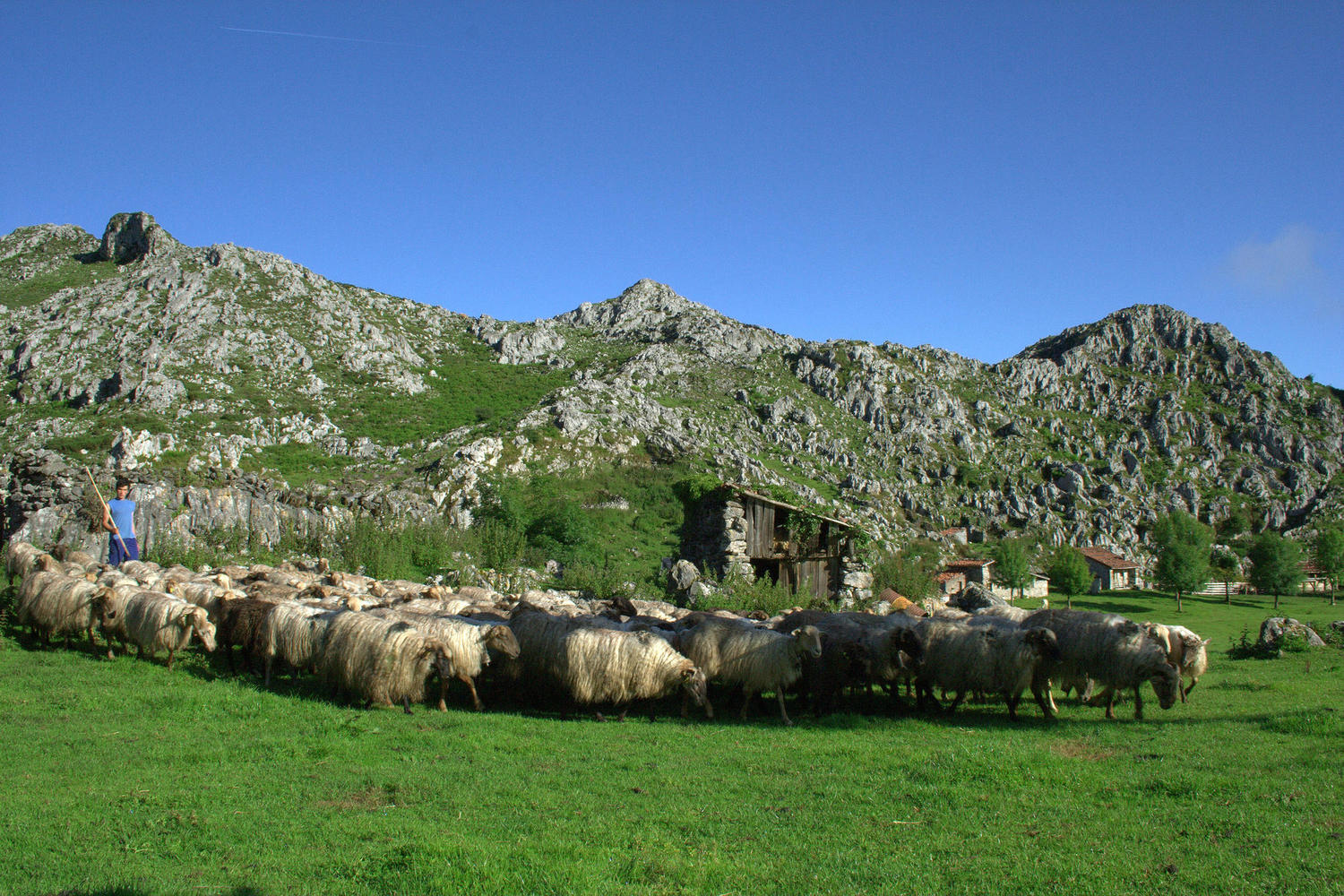 Herding the sheep in the high Picos de Europa