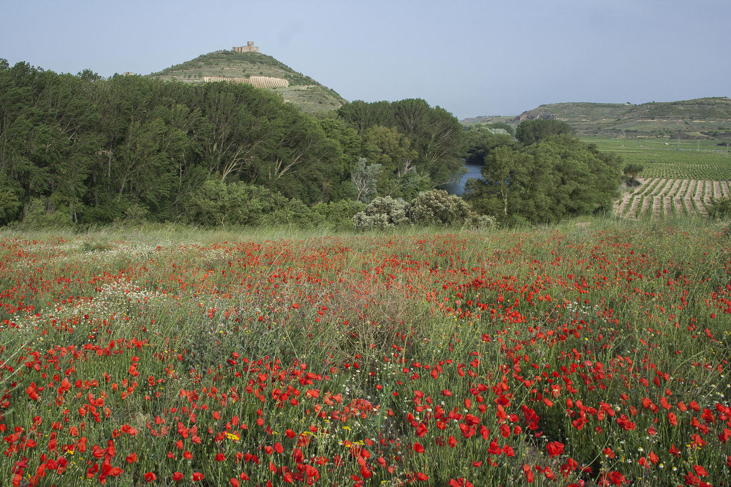 Davalillo castle and poppies