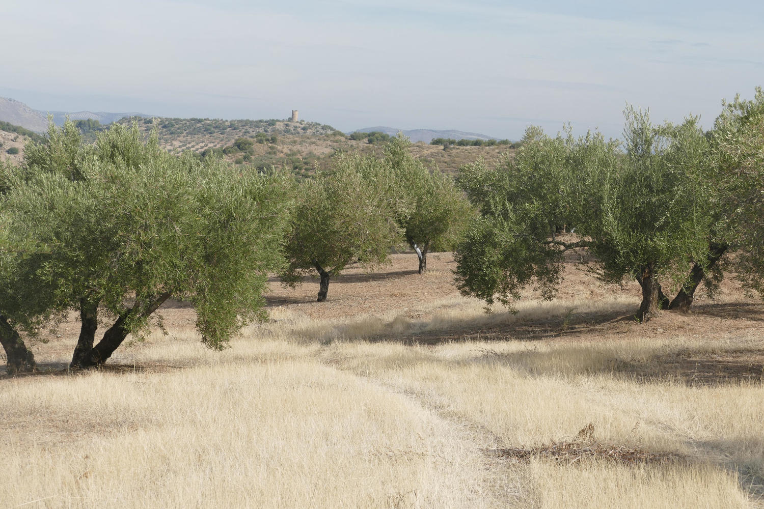 Olive trees, some as old as 500 years, stretch out towards the horizon and a ruined Moorish watchtower