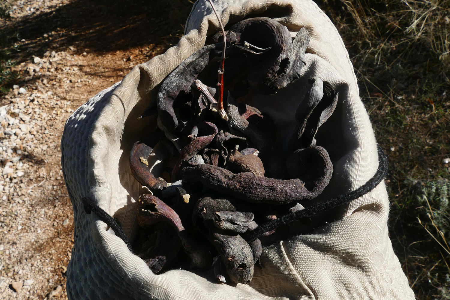 Collecting up dried cornicabras - the 'incienso de campesinos'
