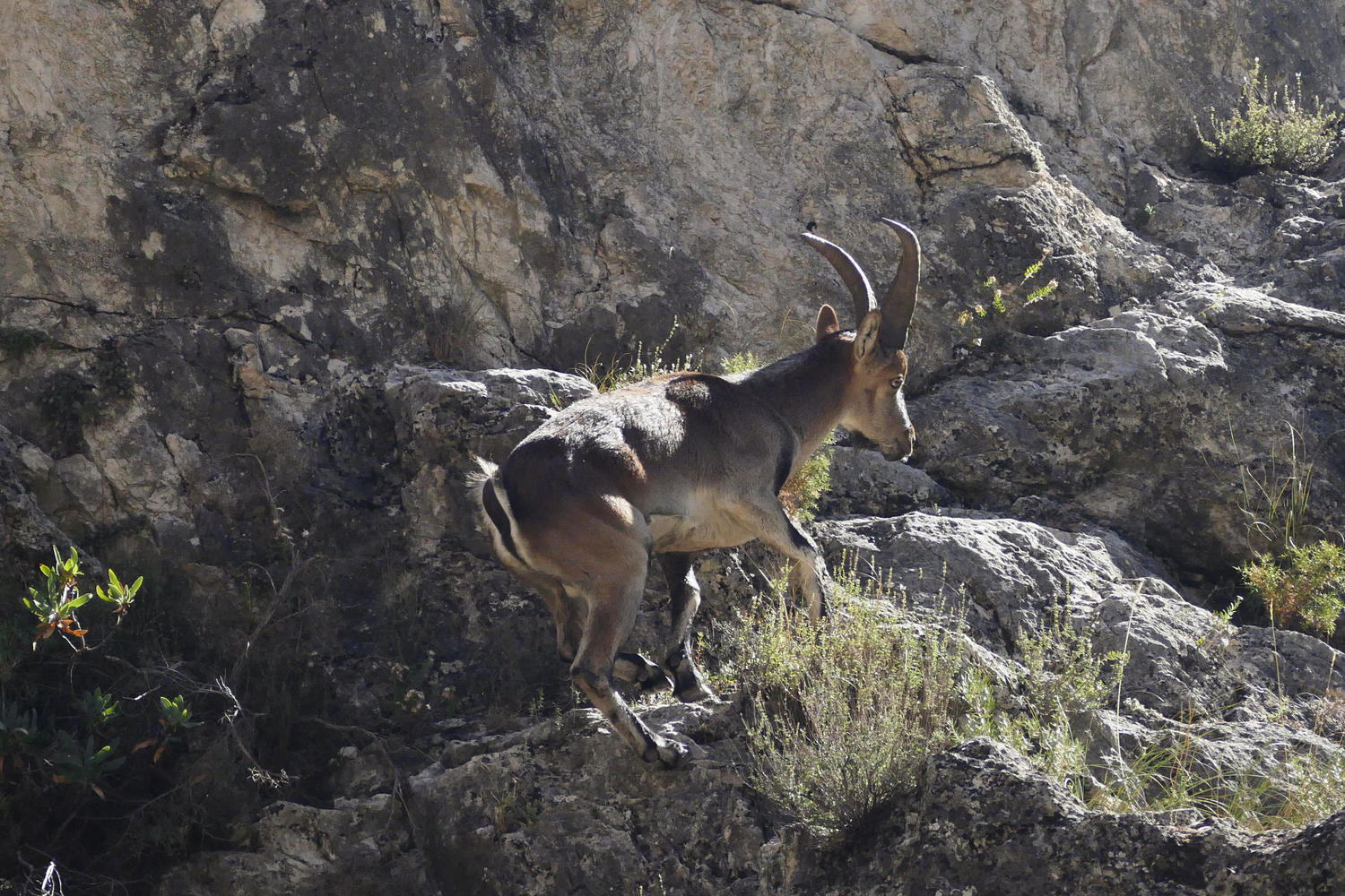 A wild Spanish ibex clambers up the hillside of the Rio Velillos canyon near Moclín