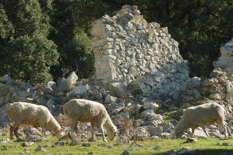 Sheep grazing in front of a ruined cortijo near Zuheros