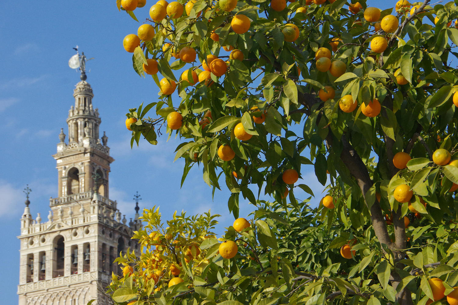 Seville's Giralda rises above the orange trees