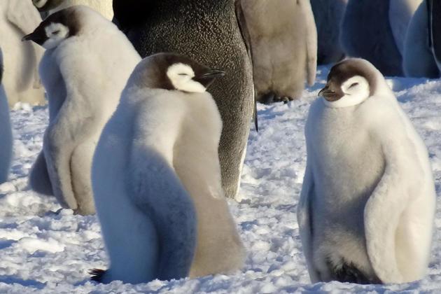 Antarctica emperor penguins c pura client sandra thomas2