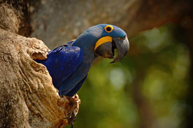 Brazil pantanal big blue parrot hyacinth macaw anodorhynchus hyacinthinus in tree nest cavity pantanal brazil