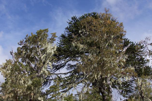 Chile central valley nahuelbuta national park araucaria big wisps