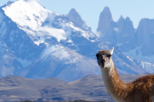 Chile patagonia torres del paine guanaco in front of torres