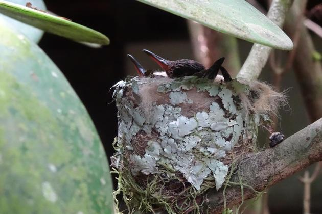 Costa rica arenal hummingbird nest copyright alison thomas