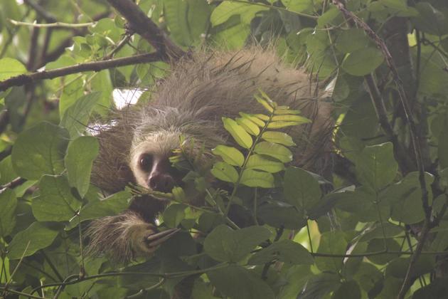 Costa rica cahuita two toed sloth peering through leaves20180829 76980 1yen9qn