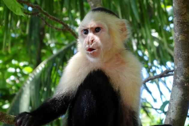 Costa rica manuel antonio white faced cappucin monkey pursed lips copyright alison thomas