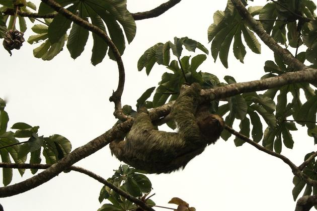 Costa rica three toed sloth mouldy in tree