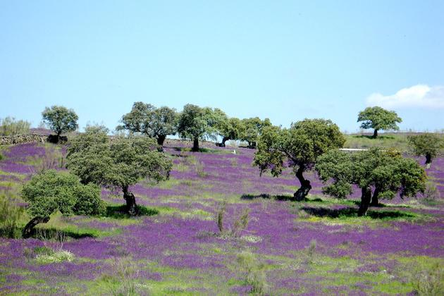 Spain andalucia aracena purple flowers dehesa