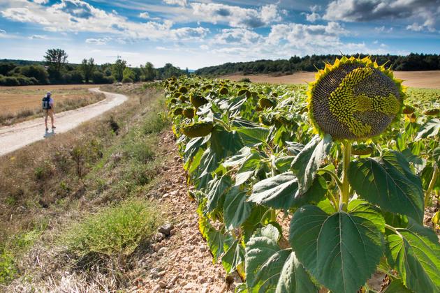 Spain camino de santiago sunflower walker