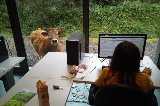 Spain picos llanes office cow at the window