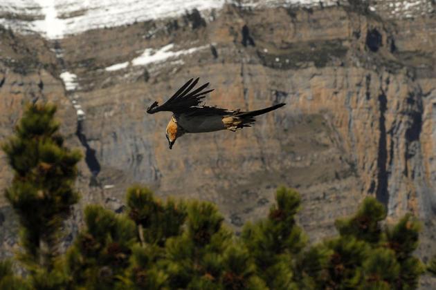 Spain pyrenees ordesa birds beardedvulture lammergeir c jpablofuentes