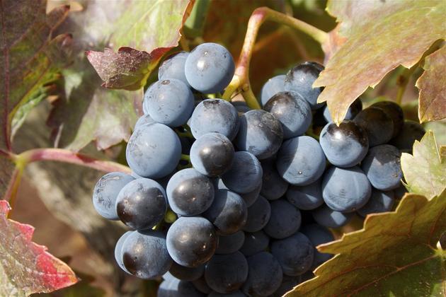 Spain rioja grapes on vine