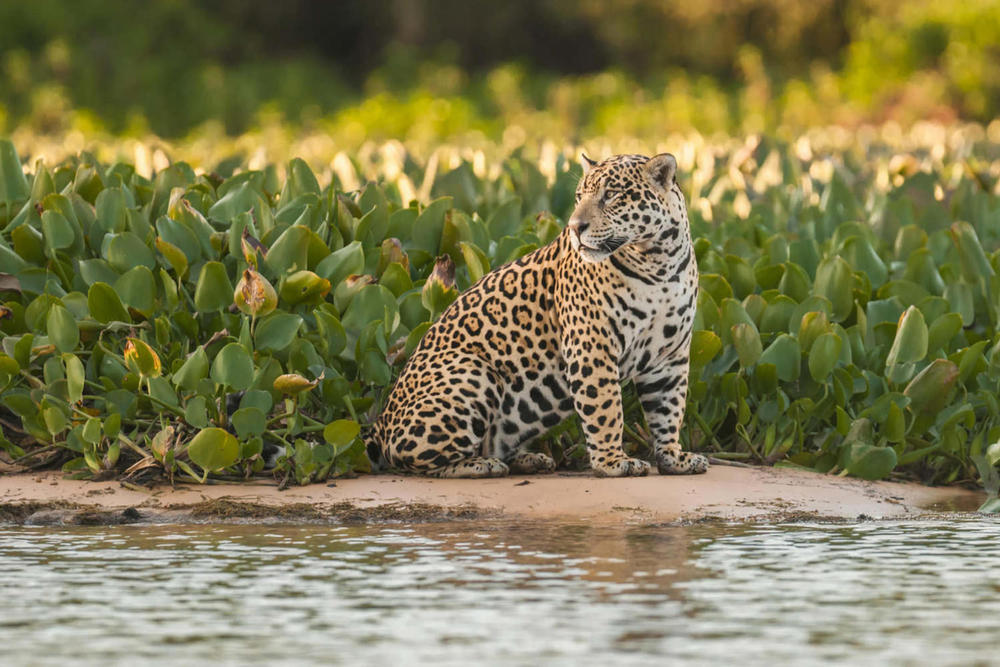 Brazil pantanal jaguar in the jungle pantanal brazil20180829 76980 1upa8f9
