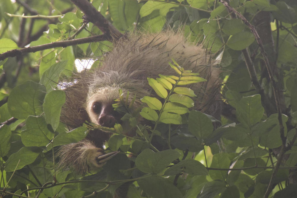 Costa rica cahuita two toed sloth peering through leaves20180829 76980 1yen9qn
