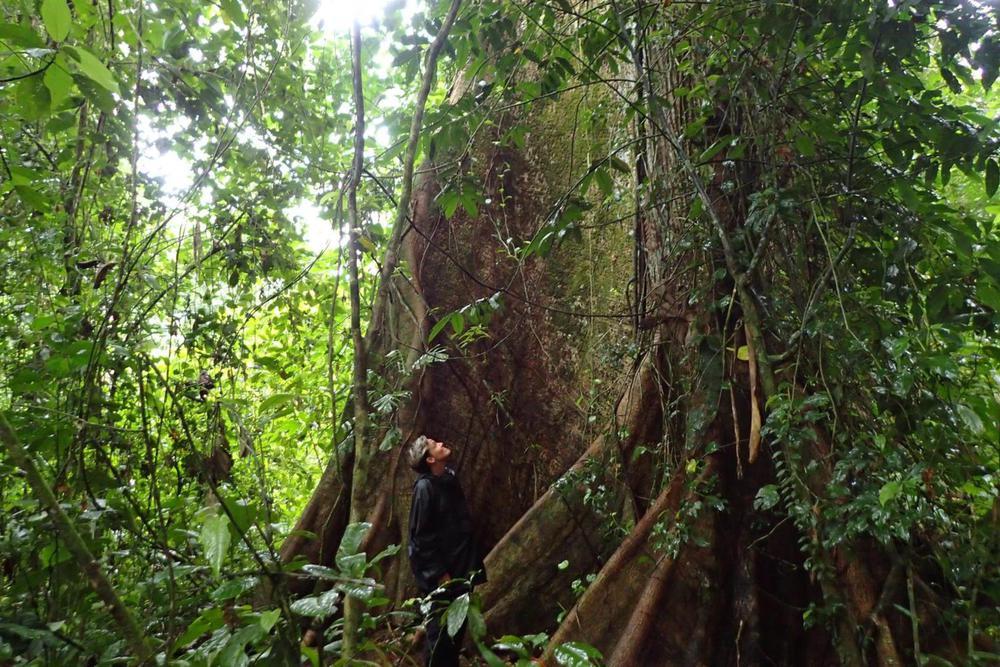 Costa rica caribbean sarapiqui la selva hike walk tree20180829 76980 1q96xu7