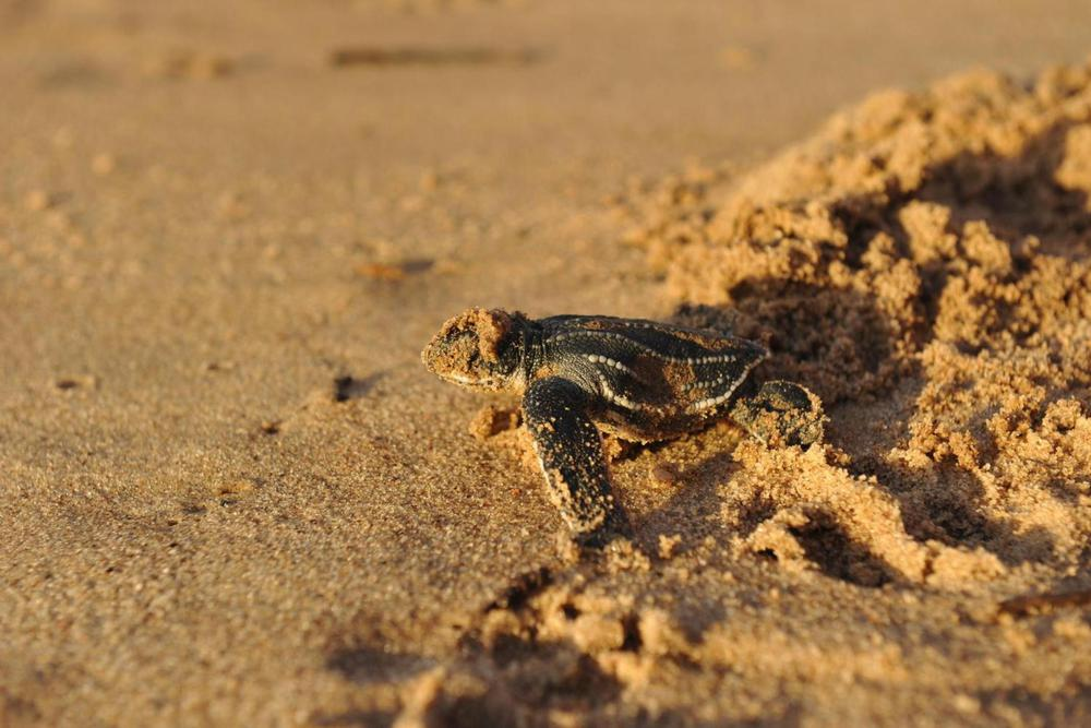 Costa rica pacific hatching turtle stephanie rousseau20180829 76980 1szwxgg