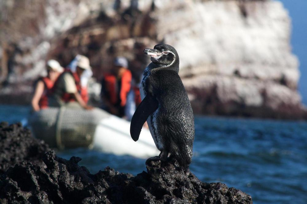 Ecuador galapagos islands penguin zodiac behind mariela islands20180829 76980 bkm5jo