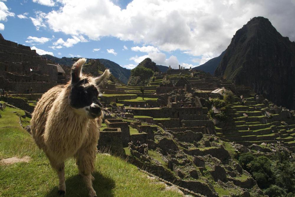 Peru machu picchu white llama on terrace20180829 76980 ah8dpp